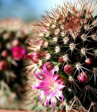 Cactus_thumb